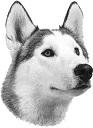 husky 1 - Copy